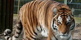 10 tygrysów utknęło na polskiej granicy. Są wycieńczone