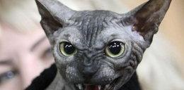 Najstraszniejszy kot na świecie. FOTO