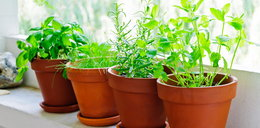 Leczysz przeziębienie ziołami? W połączeniu z lekami mogą szkodzić