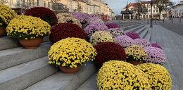 Skup chryzantem - wiemy, ile rząd wydał na więdnące kwiaty
