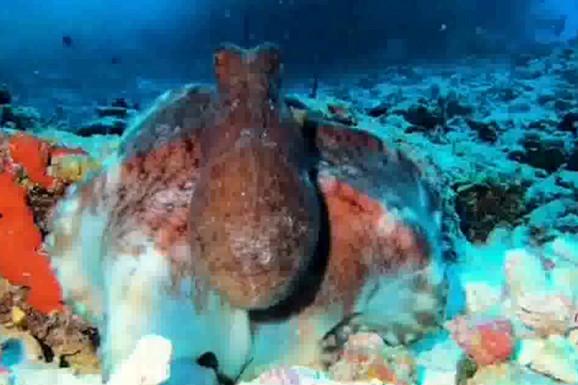SAD ME VIDIŠ, SAD ME NE VIDIŠ Oktopod za nekoliko sekundi menja boju, stapa se sa okeanom i NESTAJE (VIDEO)