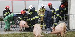 TIR przewożący świnie przewrócił się na rondzie