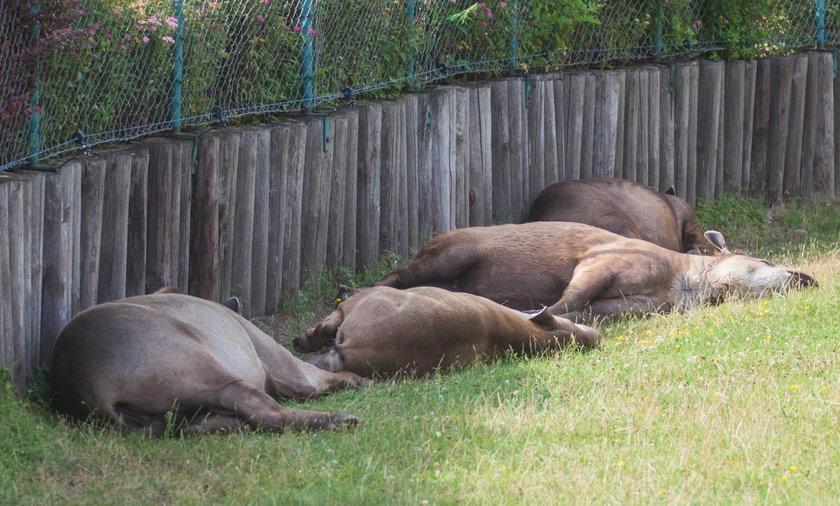 zoo upał zwirzęta