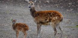 Jeleń Alfreda urodził się w Nowym Zoo