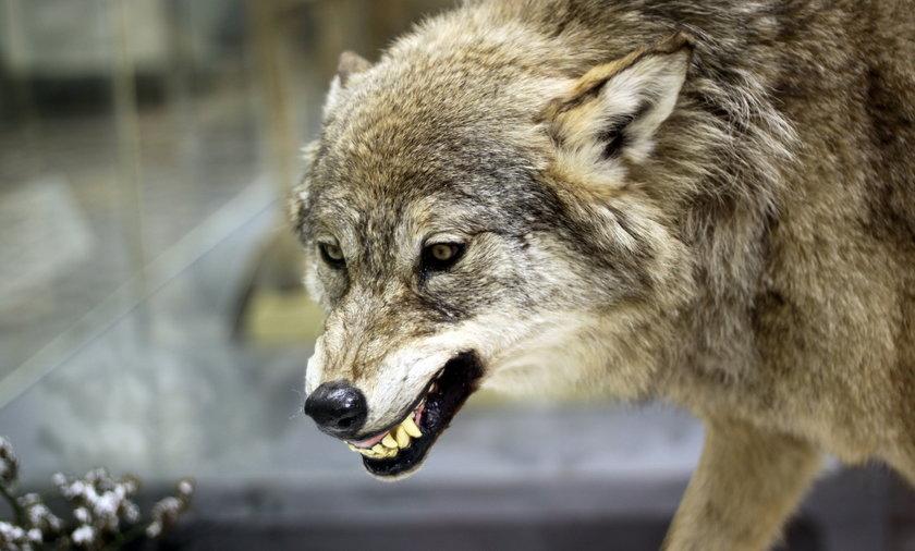 Horror pod Rzeszowem. Wściekłe wilki zagryzły młodego psa. Zdjęcie ilustracyjne.