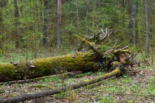 Prof. Wesołowski: Straszy się prywatyzacją lasów. One już zostały zawłaszczone przez Lasy Państwowe [WYWIAD]