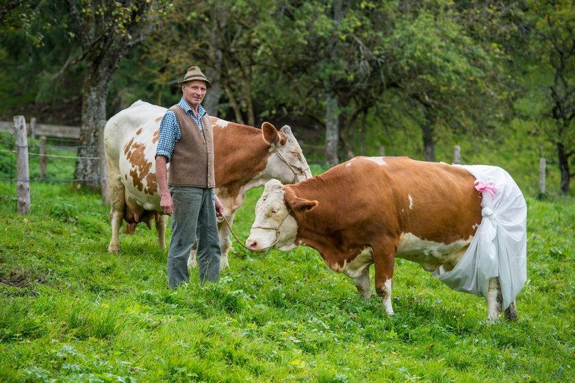 Krowy w pieluchach