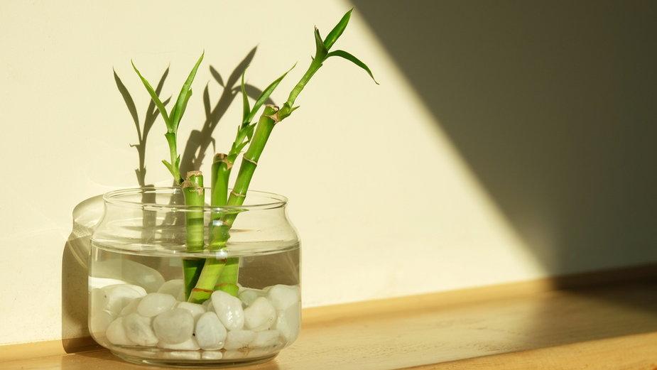 Dracaena Sanderiana, szczęśliwy bambus