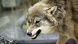 """Wilki zaatakowały psa na spacerze. Leśniczy mówi o """"wzroście wilczej psychozy"""""""