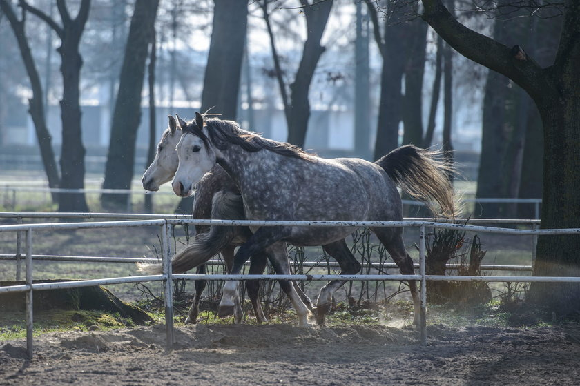 Są ustalenia w sprawie śmierci koni z Janowa!