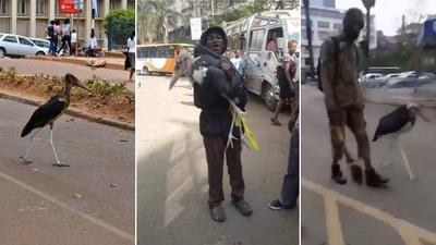Interesting facts about the 'undertaker bird' roaming Nairobi streets [Video]