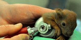 Lekarze uratowali sierotki wiewiórki