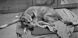 Pies Ares nie żyje. Nastolatek z Wrocławia potwornie znęcał się nad nim