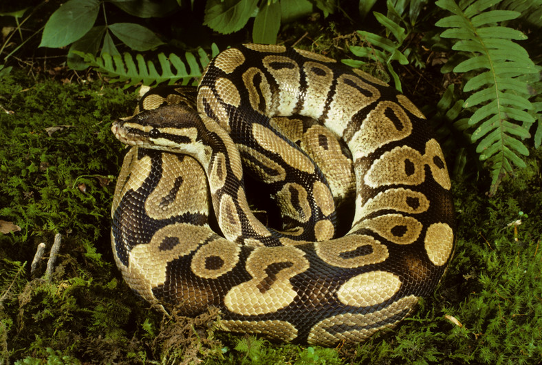 Kill a python, go to jail, Zoo manager warn Nigerians