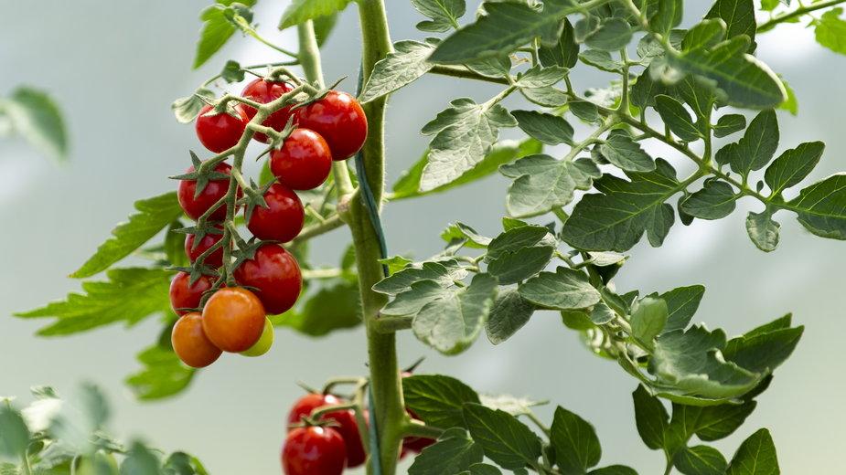 Dzięki podwiązywaniu krzewy pomidorów ni łamią się pod swoim ciężarem - Vesna/stock.adobe.com