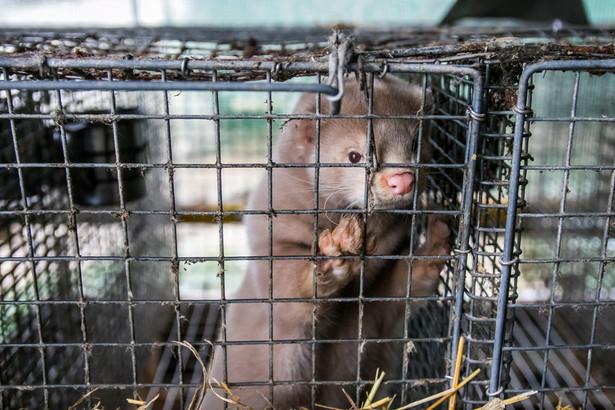 W lipcu szef resortu rolnictwa informował, że hodowla zwierząt futerkowych ma zostać utrzymana, przy jednoczesnym zaostrzeniu kryteriów dla ferm.