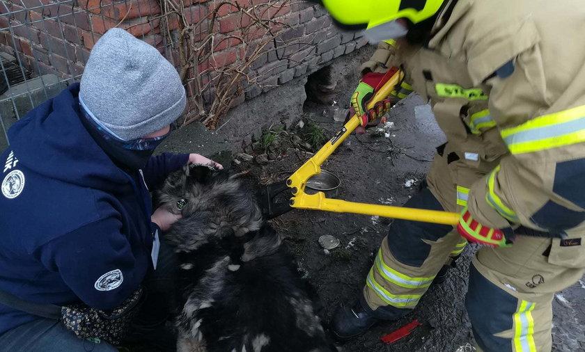 Strażacy musieli rozcinać łańcuch, który był mocno skręcony śrubą na szyi psiaka