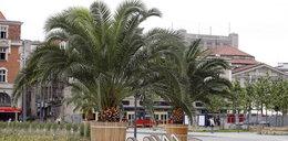Palmy na katowickim Rynku