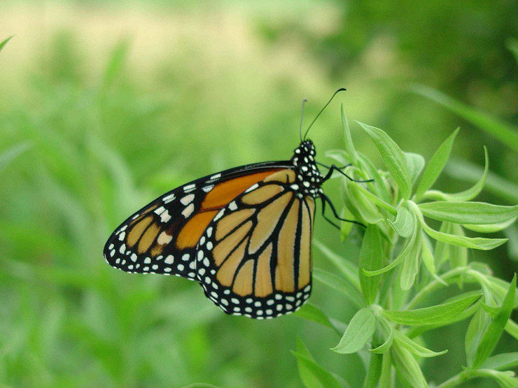 1280px-Male_monarch_butterfly_on_green_plant_danaus_plexippus public domain