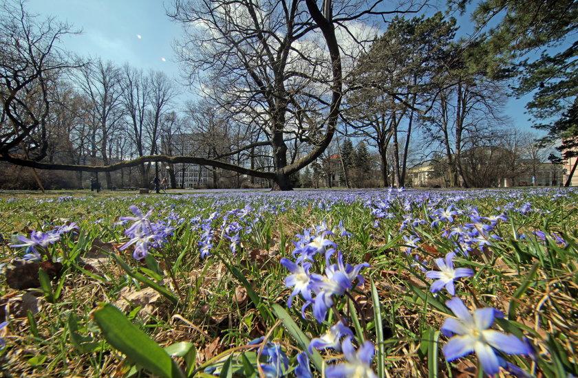 Wiosna w Łodzi. W parku Klepacza zakwitły cebulice