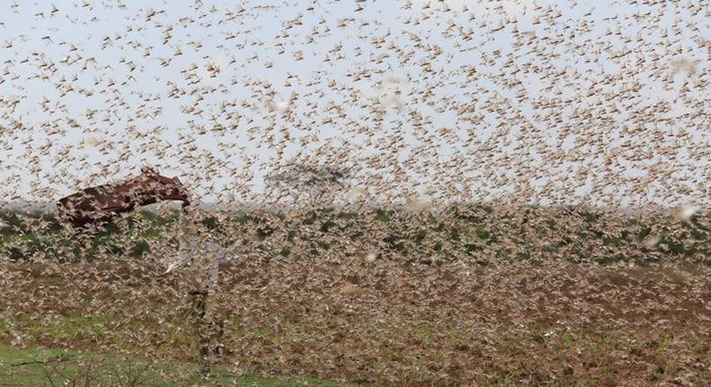 Government changes tact in tackling locust menace in North Eastern Kenya
