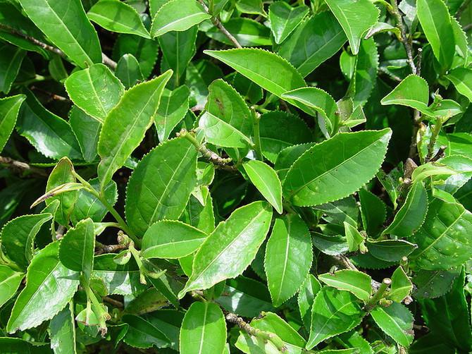 Zeleni čaj: Štiti od raka želuca i pluća, snižavai holesterol i krvni pritisak, opušta i pročišćava organizam