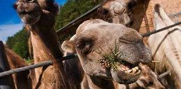 Wielbłądy zjadają polskie choinki!