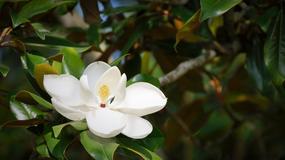 W Cieszynie zakwitły mangolie - nieformalny symbol miasta