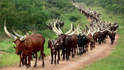 Barter Trade: Chad pays Angola with cattle for $100m loan as coronavirus brings currencies  down crashing