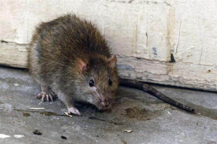 Martwe szczury w ryżu? Sklepy wycofują towar