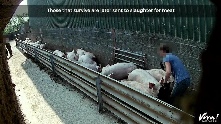 Anglia: znęcanie się nad świniami na fermie Lutterworth