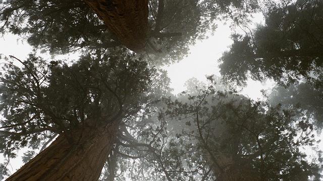 Hihetetlen: még mindig parázslik egy óriás mamutfenyő a 2020-as kaliforniai tűzvész után