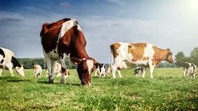 Próbował wwieźć krowie odchody do Nowej Zelandii. Miały posłużyć mu do odprawienia rytuału