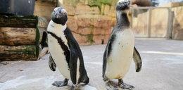 Dramat w zoo! Jenot udusił słynnego Janusha!
