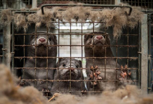 O pojawieniu się choroby u zwierząt poinformowało w niedzielę wieczorem ministerstwo rolnictwa. Wirusa SARS-CoV-2 u norek wykryto na fermie w woj. pomorskim w powiecie kartuskim. Zadecydowano o likwidacji zwierząt.