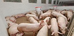 Nowy program rządu: rzeźnia Plus. Rolnicy znów będą bić świnie