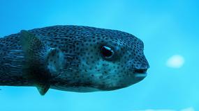 Ta ryba ma tak ostre zęby, że z łatwością przegryza się przez metal!