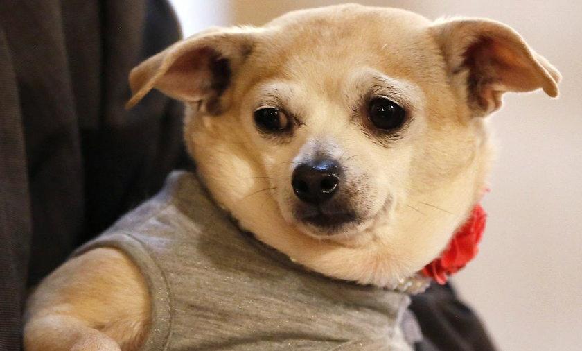 Pies został burmistrzem San Francisco