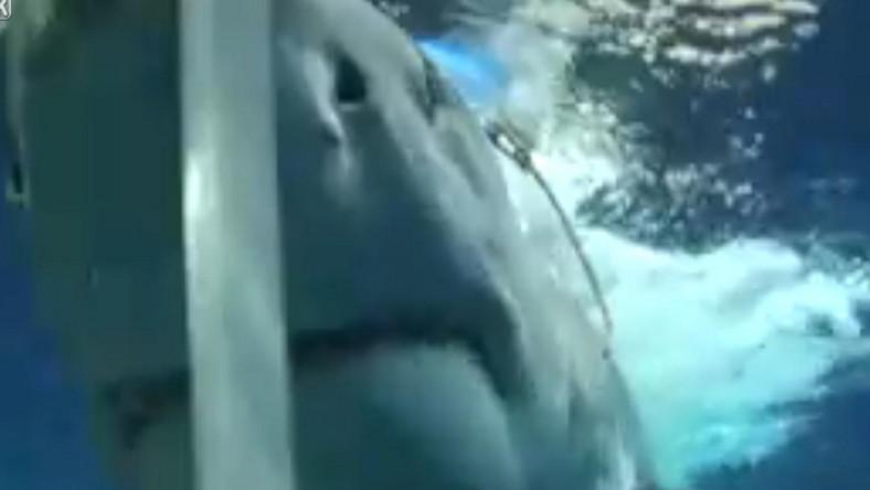 Rekin-zabójca posiał panikę na wybrzeżach Egiptu