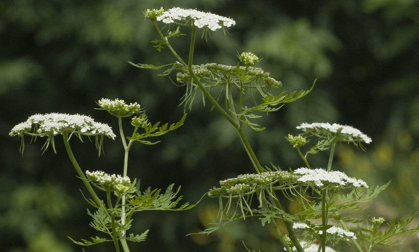 Uwaga! Te rośliny mogą cię zabić. Występują w Polsce...