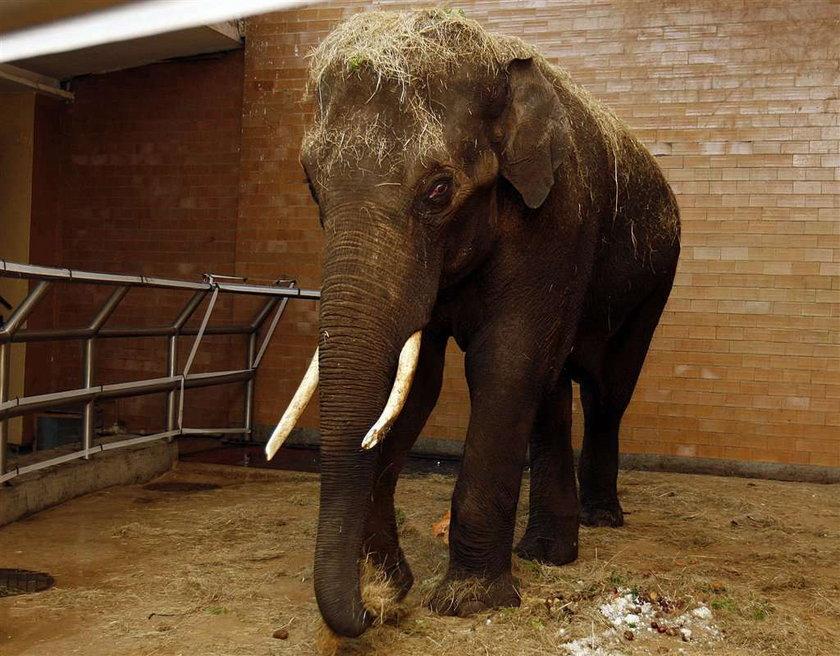 W chorzowskim zoo jest nowy słoń