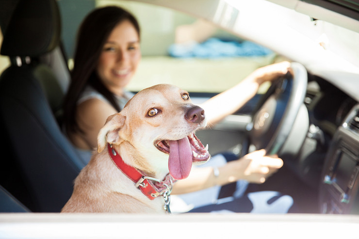 pas auto sedište