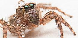 Boisz się pająków? Mamy złą wiadomość