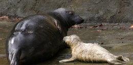 Śliczności! Zobaczcie malutką foczkę w zoo