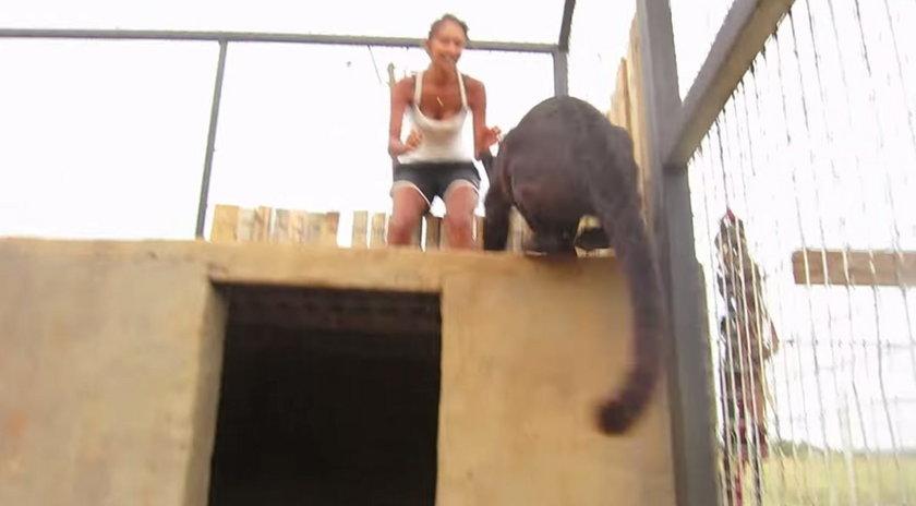 Czarna pantera Pardus