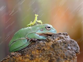 FROG AND MANTIS FRIENDS / FROG AND MANTIS FRIENDS /1233794