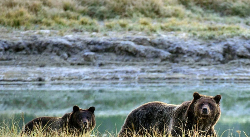 Yellowstone grizzly bear hunting ban upheld in US