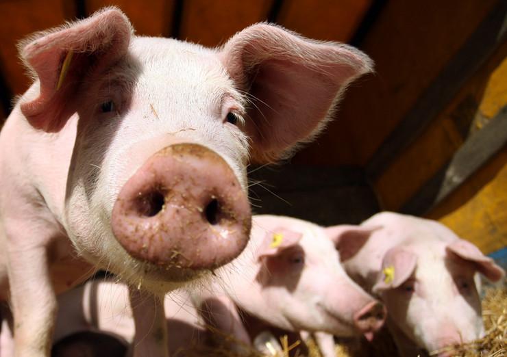 svinje prasici