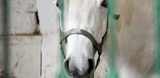 """W Janowie jest ok. 450 koni. Są trzymane """"na bosaka"""", czyli bez kucia"""