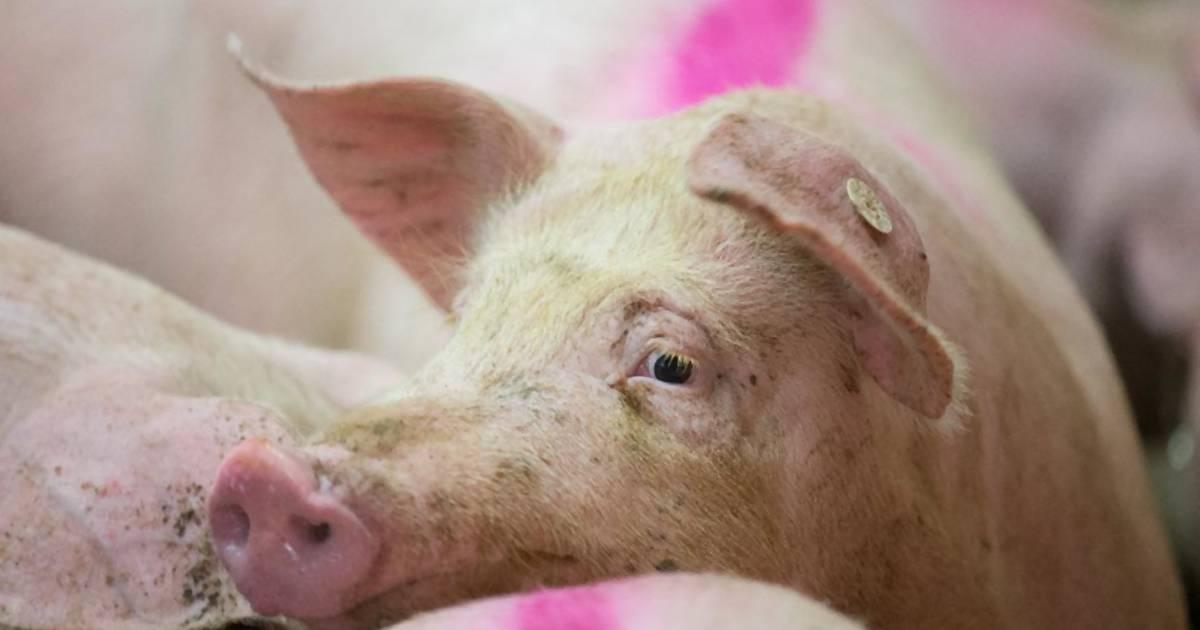 Neue ARD-Doku zeigt Horror-Schweinemast in Deutschland